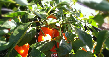 Chile Pepper Plants Grown in Florida