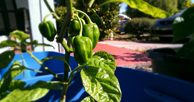 Hot Pepper Plants Grown in Florida