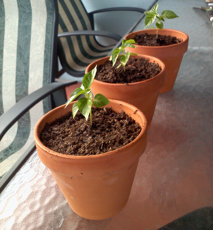 Habanero Plants in Ceramic Pots