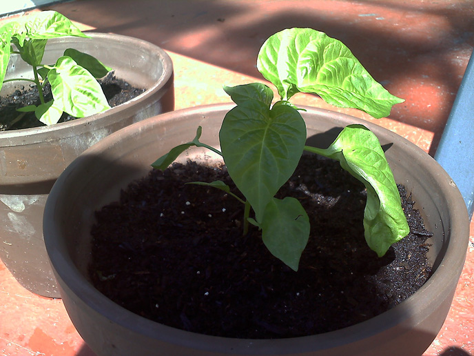 Jamaican Hot Chocolate Habanero Growing Plants