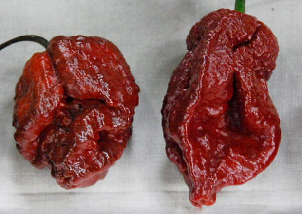 Two harvested chocolate 7-Pot Doughlah chile peppers on a piece of canvas