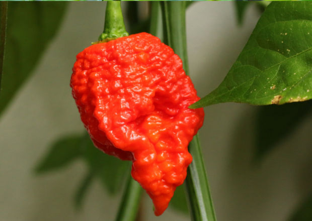 A ripe, red, Carolina Reaper chilli pepper with bumpy texture, hanging on the plant