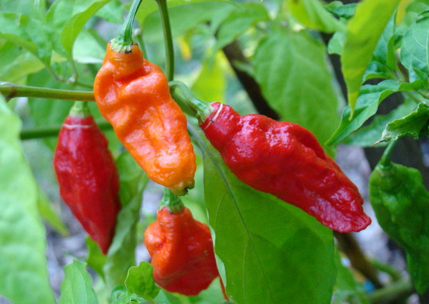 Ghost chilli, naga jolokia, red and orange