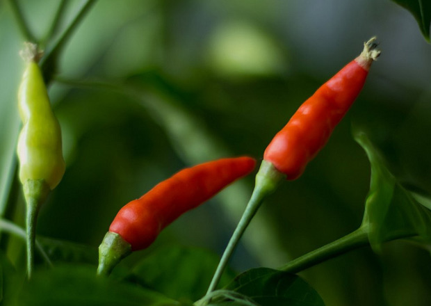 Piri piri peppers growing