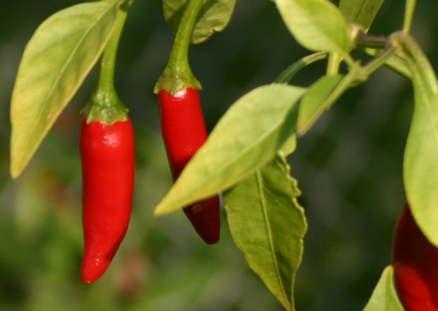 Thai hot pepper, birds eye, thai dragon, hanging straight down from plant with pale green leaves